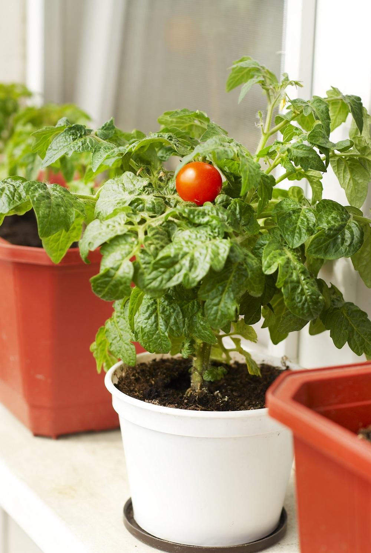 Выращивание томатов на подоконнике зимой Посадка и уход за 84