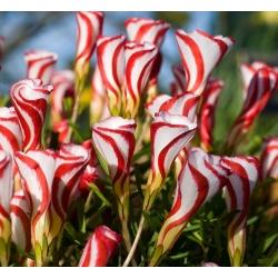 Oxalis Versicolor - Candy Cane Sorrel - 2 bulbs