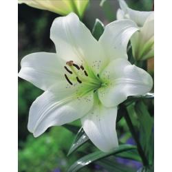 Tree Lily Lilium Pretty Women