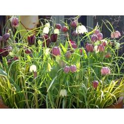 Fritillaria meleagris mix - Snake's Head Fritillary mix - 5 bulbs