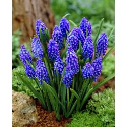 Muscari armeniacum - Grape Hyacinth armeniacum - 10 bulbs