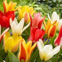 Tulipa botanical mix - Tulip botanical mix - 5 bulbs