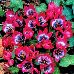 Tulipa Little Beauty - Tulip Little Beauty - 5 bulbs