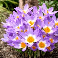 Crocus Tricolor - 10 bulbs