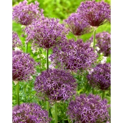 """Metallic Shine"" ornamental onion"