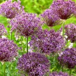 """Metallic Shine"" ornamental onion - 10 bulbs"