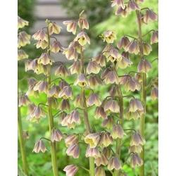 """""""Green Dreams"""" Persian fritillary - 10 bulbs"""