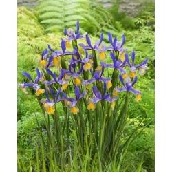 """""""Miss Saigon"""" Dutch iris - 10 bulbs"""