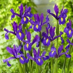 """Discovery Purple"" Dutch iris - 10 bulbs"