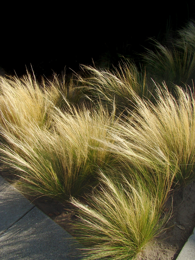 Mexican Feather Grass Pony Tails Seeds Stipa Tenuissima