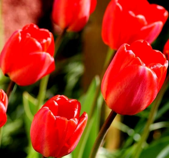 Tulipa spring song tulip spring song 5 bulbs garden seeds tulipa spring song tulip spring song 5 bulbs mightylinksfo Image collections