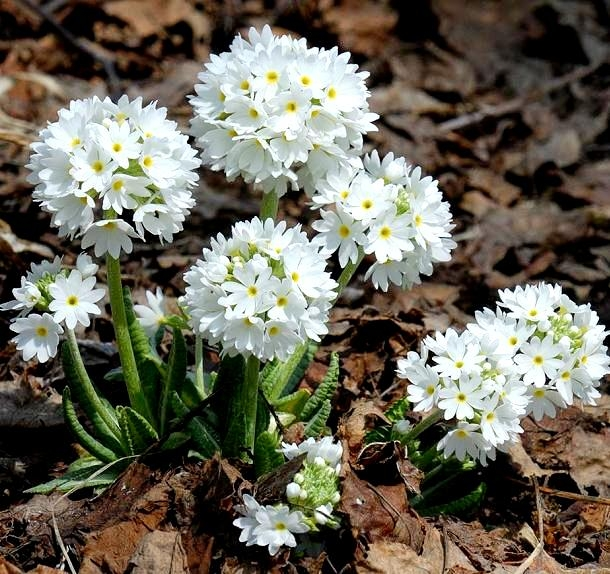 Primrose gemischte Samen Primula x pubescens 110 samen