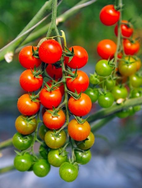 Lycopersicon esculentum Mill Tomato Koralik Seeds