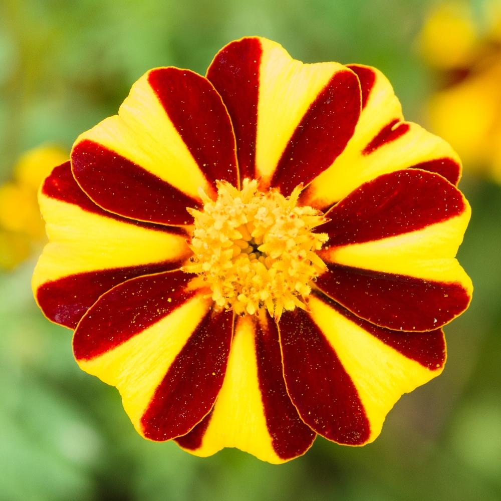 Marigold Mr Majestic Seeds Tagetes Patula Nana 105