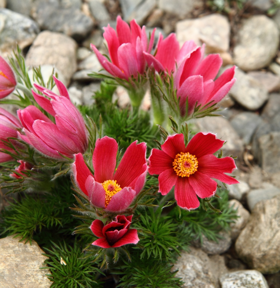 Red Pasque Flower seeds - Anemone pulsatilla - 38 seeds ...