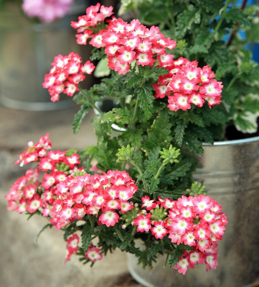 Verbena Homestead Purple Seeds Verbena X Hybrida Pendula