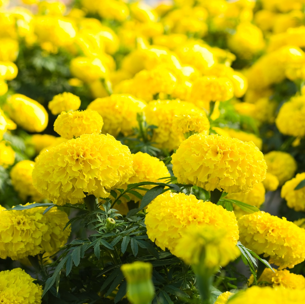 50 Yellow Aztec Marigold Seeds Tagete Erecta Ornamental Garden Flowers