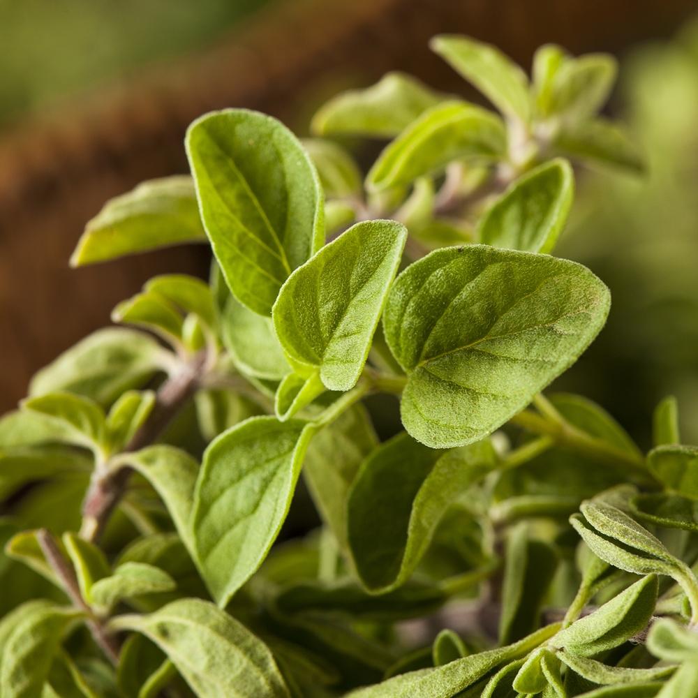 Greek Oregano seeds - Origanum hirtum – Garden Seeds ...