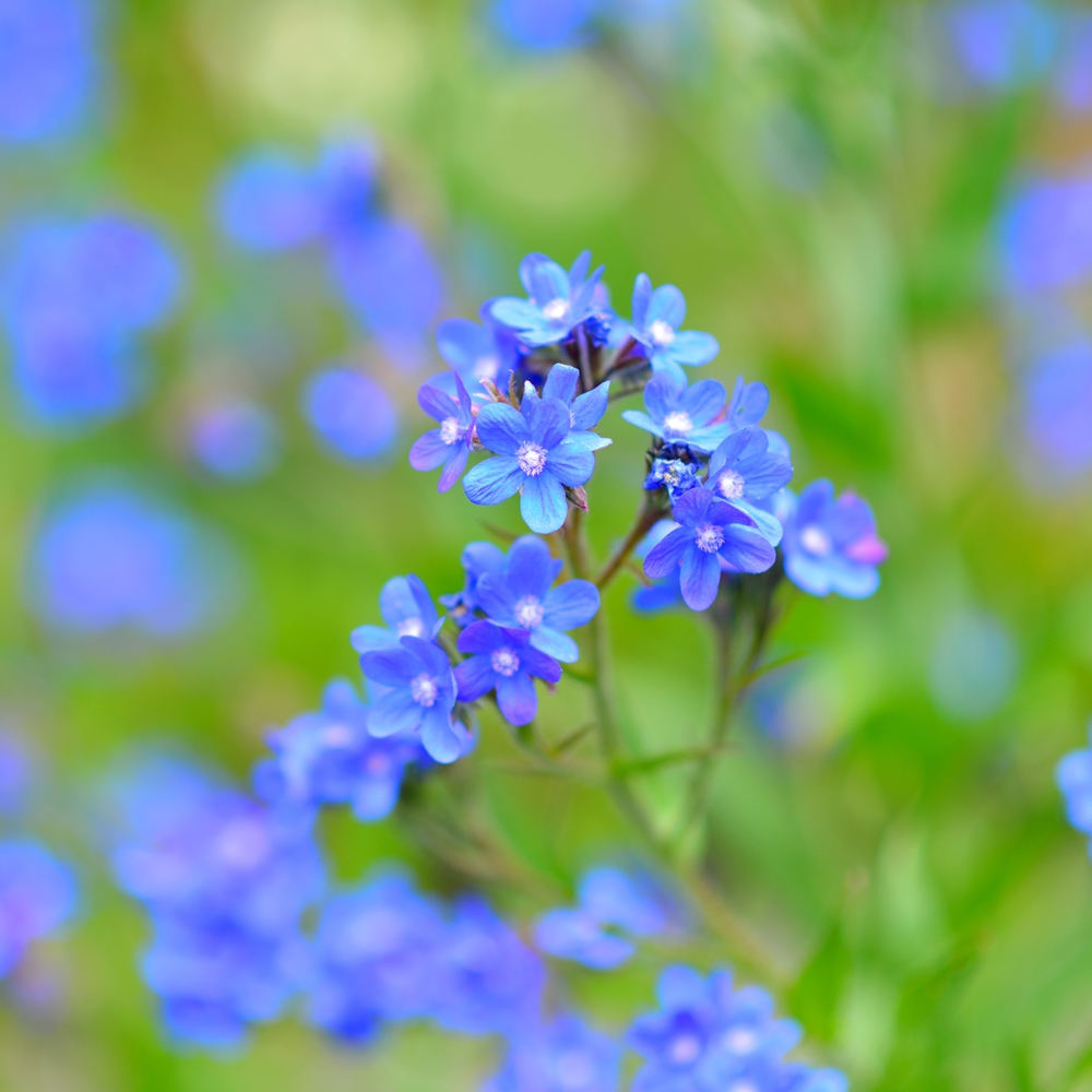 summer forget me not seeds anchusa capensis 250 seeds. Black Bedroom Furniture Sets. Home Design Ideas