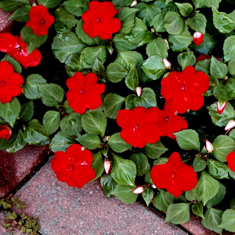 Red Impatiens Seeds Impatiens Walleriana 80 Seeds Garden Seeds