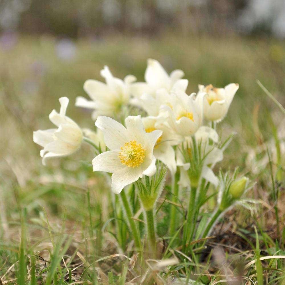 White Pasque Flower seeds - Anemone pulsatilla - 90 seeds ...