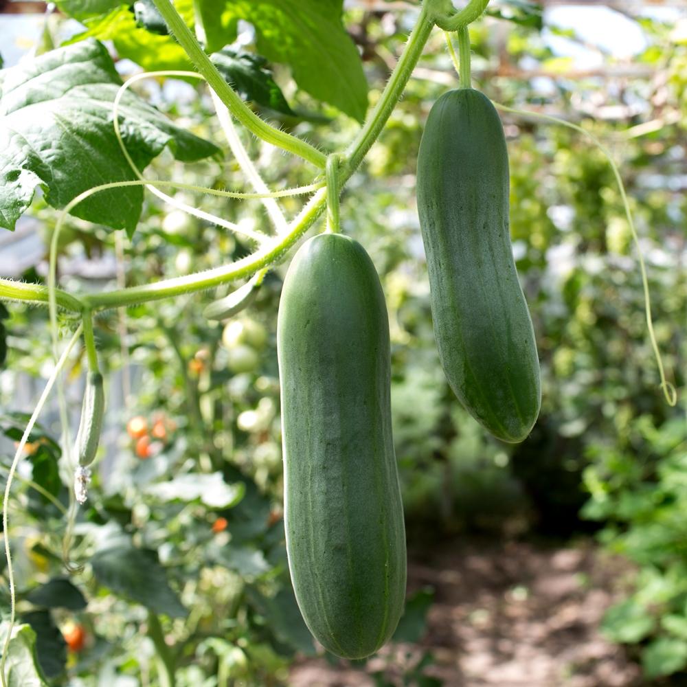 Cucumber Tessa Seeds Cucumis Sativus 105 Seeds