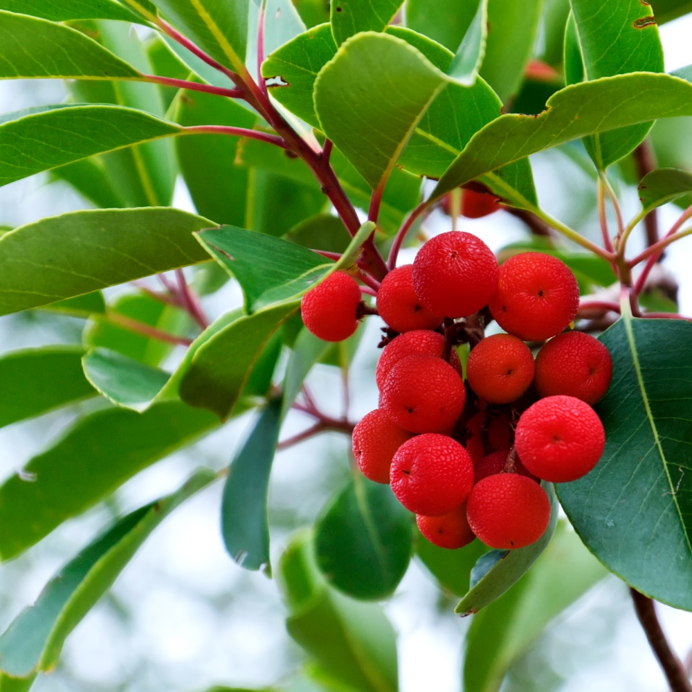 Strawberry Tree Seeds Arbutus Unedo Garden Seeds