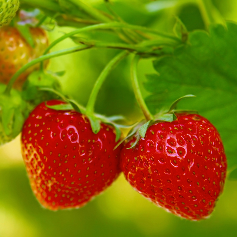 strawberry tresca seeds - fragaria ananassa