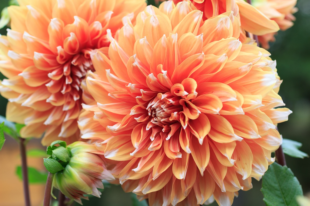 Dahlia Colour Spectacle Bulb Tuber Root Garden Seeds