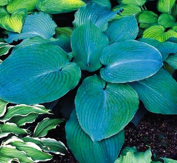 Hosta Plantain Lily Blue Angel 1 Bulb Garden Seeds Market