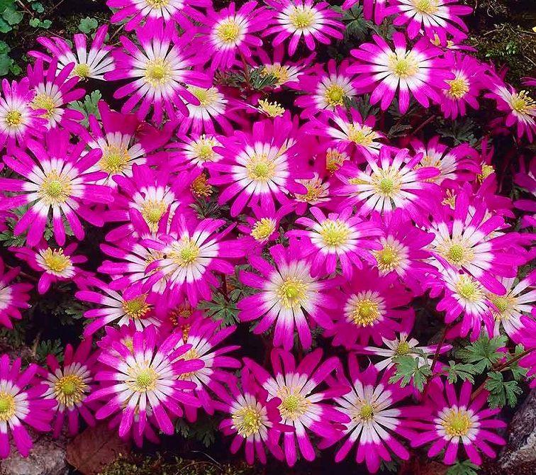 Anemone Pink Star 8 Bulbs Garden Seeds Market Free Shipping