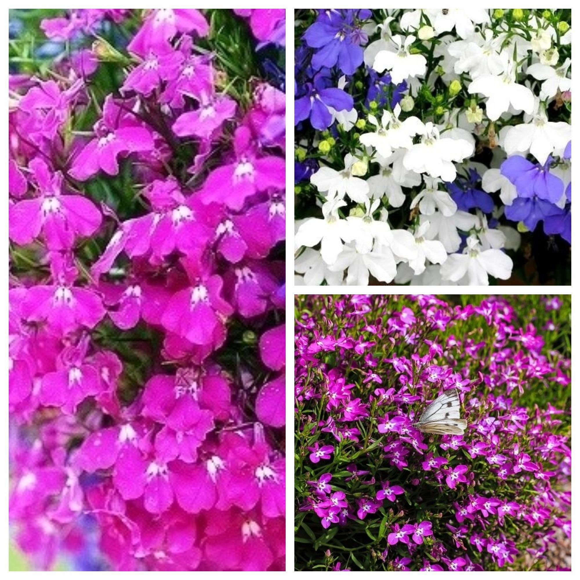Lobelia Seeds Of 3 Flowering Plants Varieties Garden Seeds