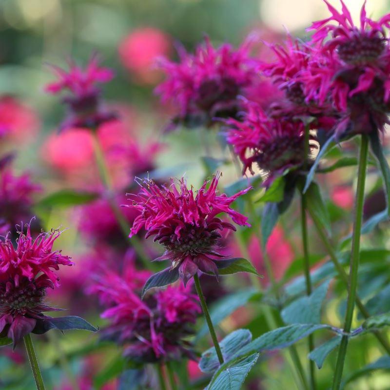 25+Seeds Monarda Didyma Bee Balm Mix Seeds