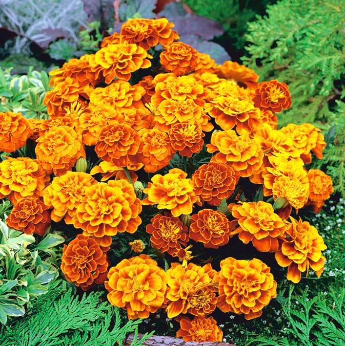 50 Marigold Honeycomb detailed French Marigold Seeds