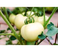 Pomidor biały nasiona