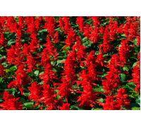 Szałwia błyszcząca - czerwona