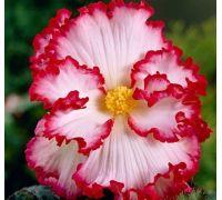 Begonia biało-czerwona - Marginata White