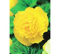 Begonia pełna - żółta - 2 szt.