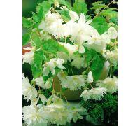 Begonia zwisająca - biała - 2 szt.