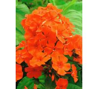 Floks (Phlox) - Płomyk wiechowaty - pomarańczowy - 1 szt.