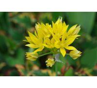 Czosnek złocisty - Allium moly - 20 szt.