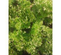 Seler naciowy Pikant nasiona