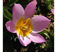 Tulipan Saxatilis