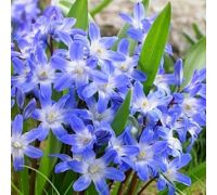 Śnieżnik niebieski - Chionodoxa forbesi blue - 10 szt.