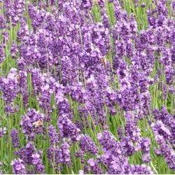 Pravá levanduľa, jemné semená levandule - Lavendula vera - 180 semien - Lavendula officinalis