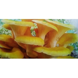 Pleurotus citrinopileatus