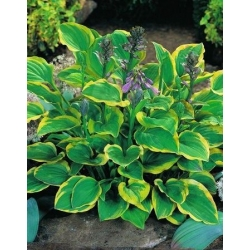 Hosta, Plantain Lily Golden Tiara