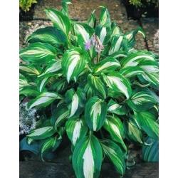 Hosta, Plantain Lily Mediovariegata