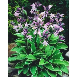 Hosta, Plantain Lily Fortunei Francee