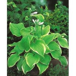 Hosta, Plantain Lily Lakeside Cha Cha